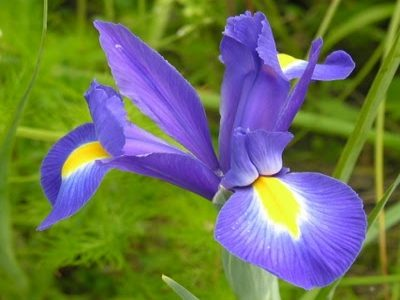 05 - Iris